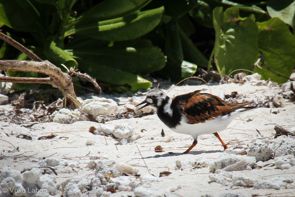 Arenaria interpres, Roody Turnstone