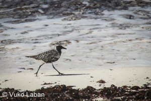Pluvialis squatarola, Grey Plover - Vuko Laban
