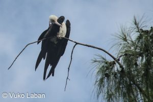 Fregata minor, Great Frigatebird - Vuko Laban