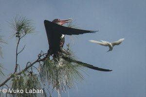 Fregata minor, Great Frigatebird - Vuko Laban
