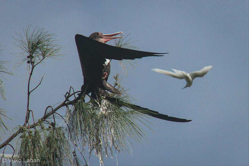 Fregata minor, Great Frigatebird