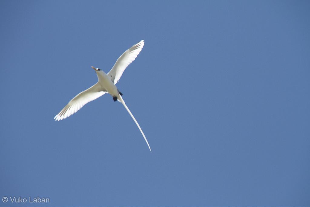 Phaeton lepturus, White-tailed Tropicbird