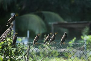 Acrodotheres tristis, Common Myna - Vuko Laban