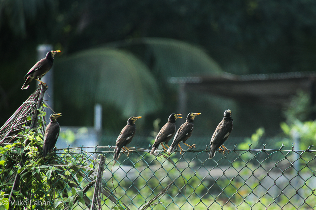 Acrodotheres tristis, Common Myna