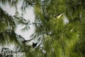 Sterna anaethetus, Bridled Tern - Vuko Laban