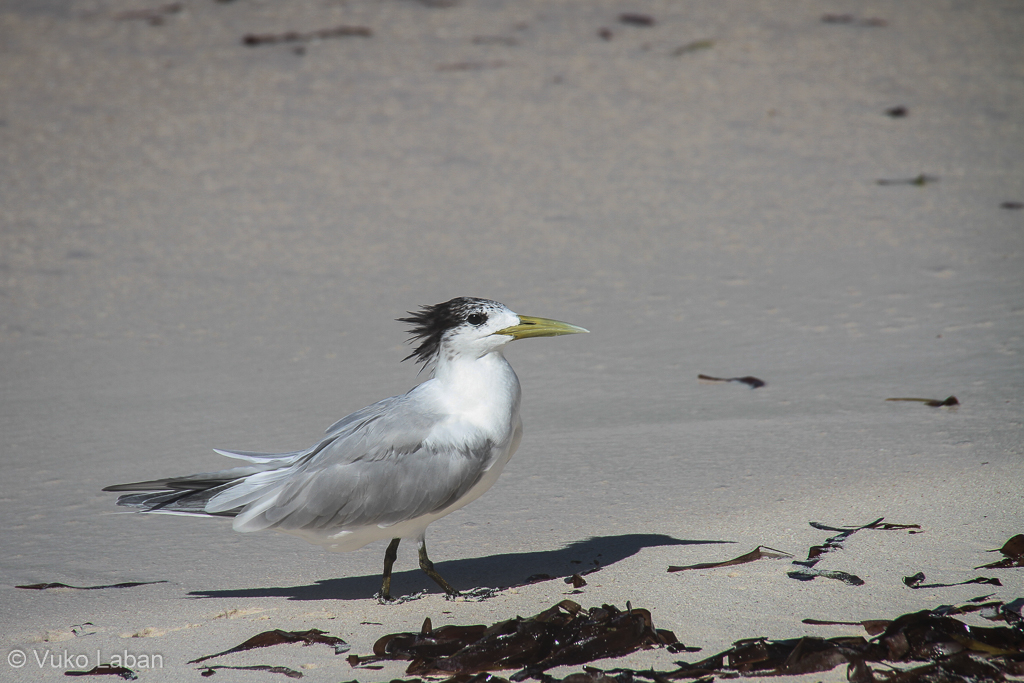 Thalasseus bergii, Greater Crested Tern