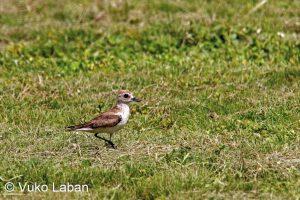 Charadrius leschenaultii, Greater Sand Plover - Vuko Laban