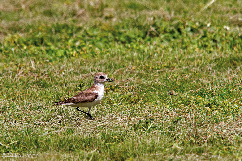 Charadrius leschenaultii, Greater Sand Plover