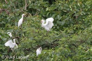 Bubulchus ibis sechellarum, Cattle Egret - Vuko Laban
