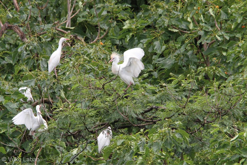 Bubulchus ibis sechellarum, Cattle Egret
