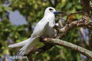 Gygis alba, Fairy Tern - Vuko Laban