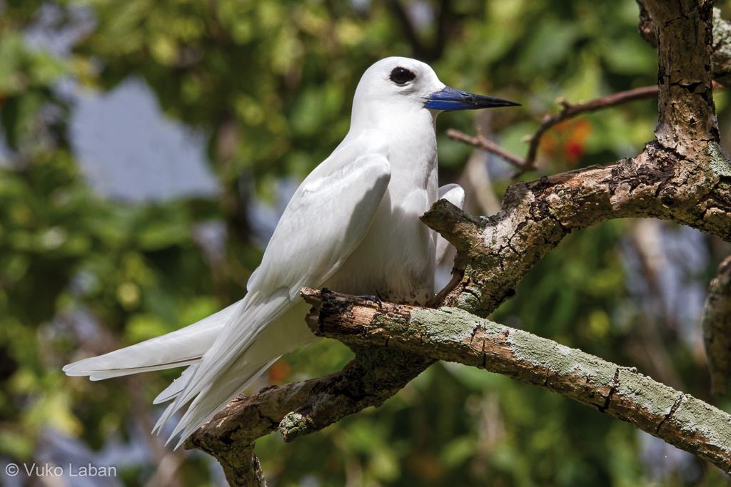 Gygis alba, Fairy Tern