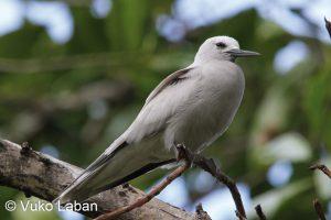 Anous tenuirostris, Lesser Nody variety - Vuko Laban