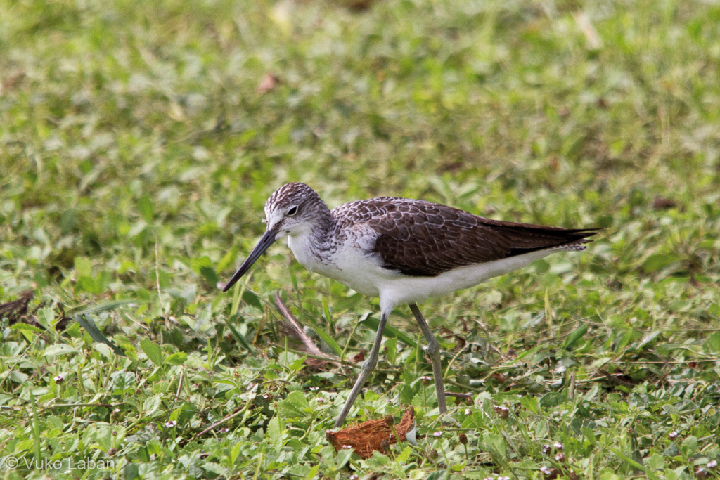 Tringa nebularia, Common Greenshank