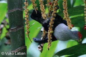 Alectroenas pulcherrima, Seychelles Blue Pidgeon - Vuko Laban