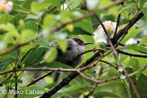 Cinnyris dussumieri, Seychelles Sunbird - Vuko Laban
