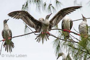 Sula sula, Red-footed Booby - Vuko Laban