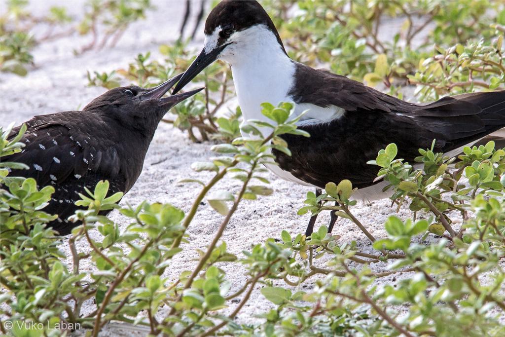 Onychoprion fuscatus, Sooty Tern