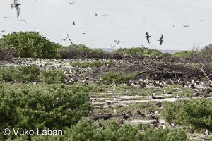 Onychoprion fuscatus, Sooty Tern - Vuko Laban