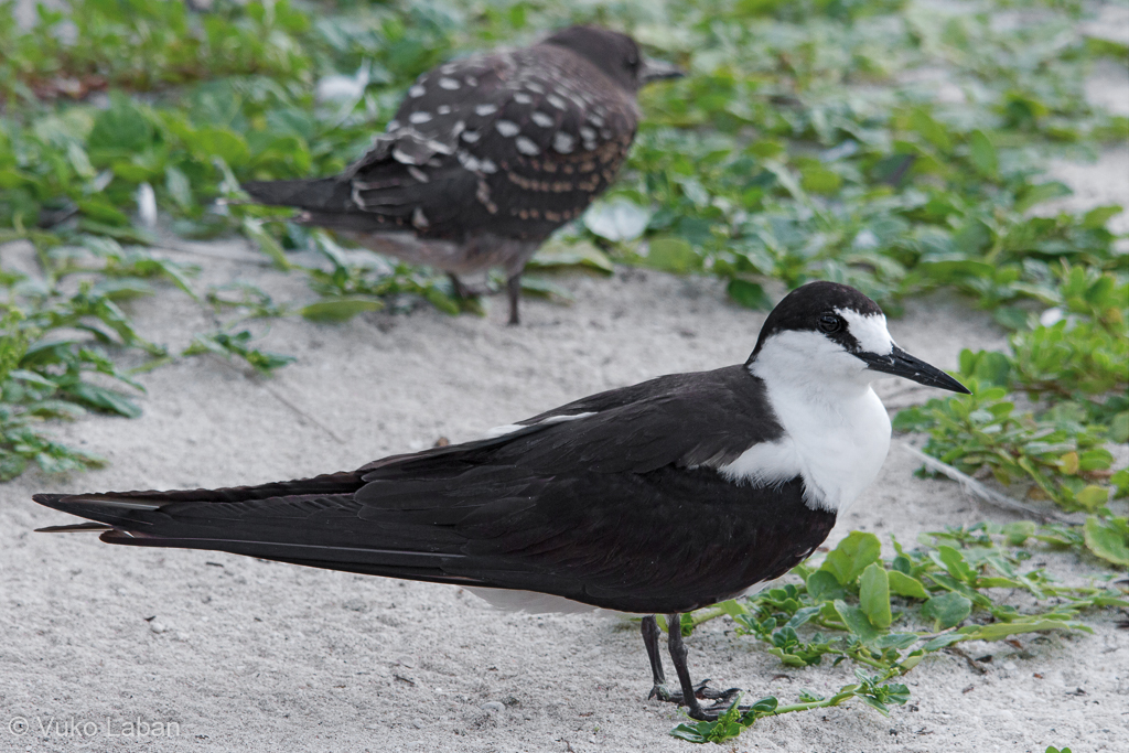 Onychoprion fuscatus, Sooty Tern