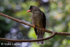 Hypsipetes cassiorostris, Seychelles Bulbul - Vuko Laban