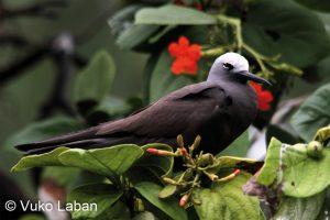 Anous tenuirostris, Lesser Nody - Vuko Laban