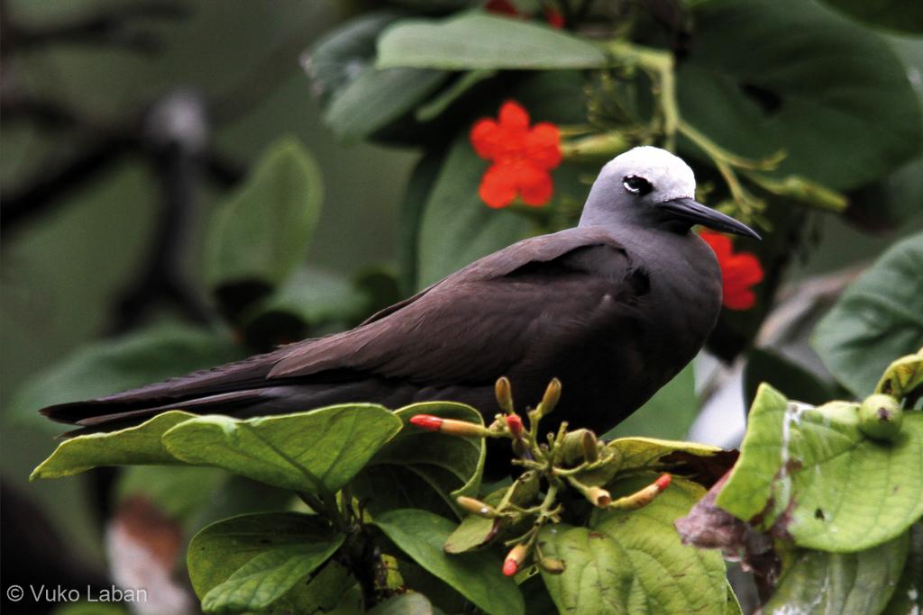 Anous tenuirostris, Lesser Nody