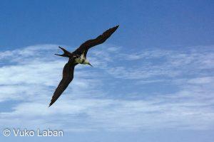 Fregata ariel, Lesser Frigatebird - Vuko Laban