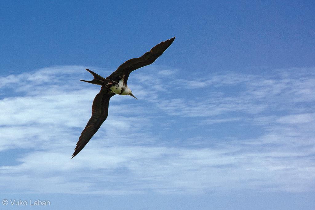 Fregata ariel, Lesser Frigatebird