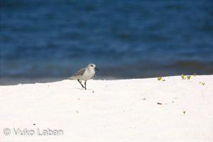 Calidris alba, Sanderling - Vuko Laban