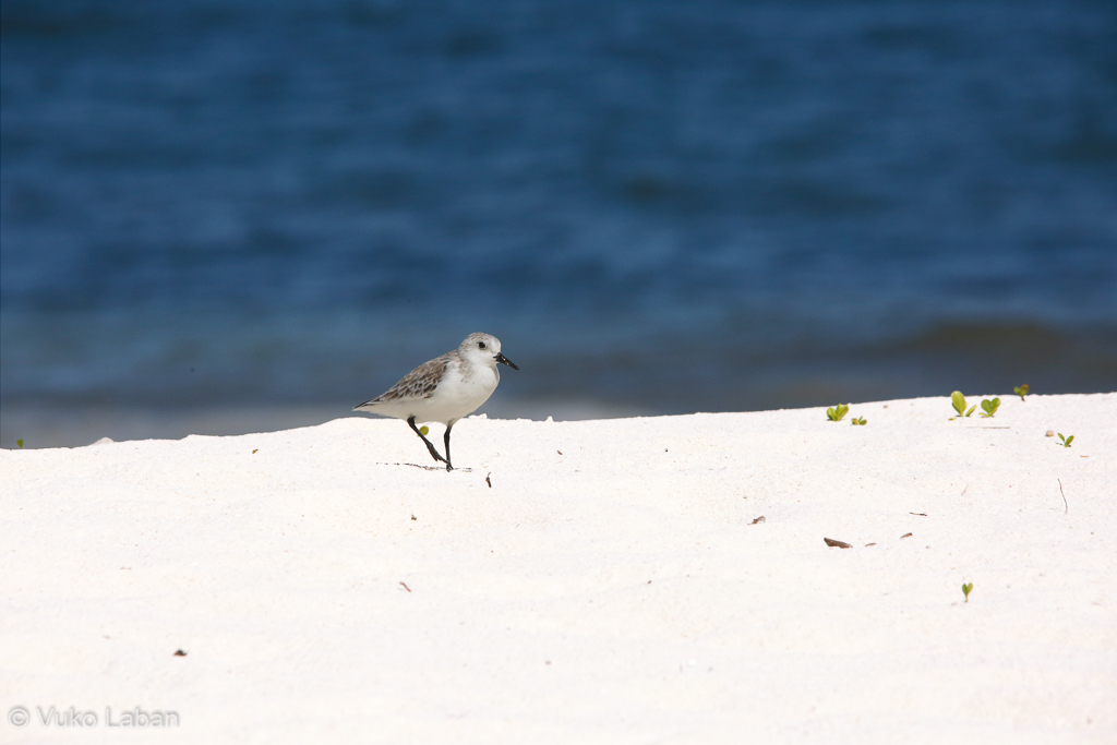 Calidris alba, Sanderling