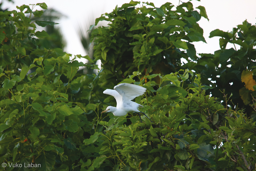 Egretta intermedia, Intermedate Egret