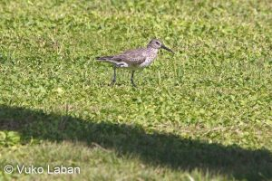 Limicola fascinellus, Broad-billed Sandpiper - Vuko Laban