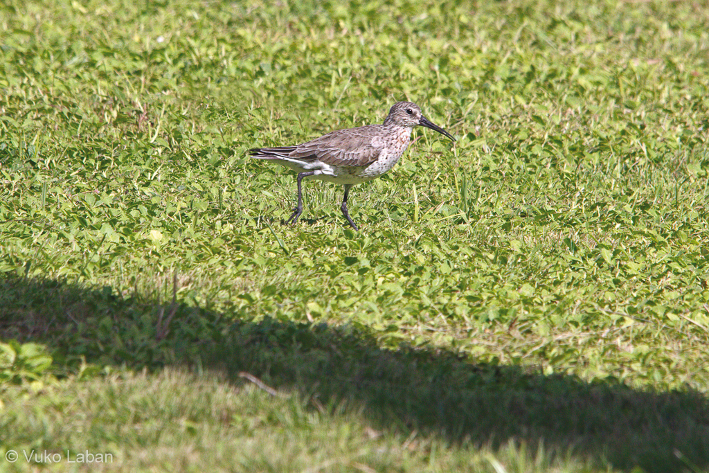 Limicola fascinellus, Broad-billed Sandpiper
