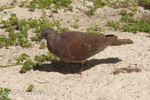 Nesoenas picturatus picturatus,Madagascar Turtle Dove - Vuko Laban