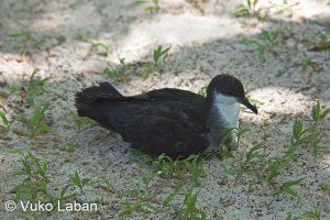 Puffinus bailloni, Tropical Shearwater - Vuko Laban