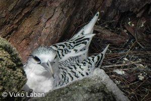 Phaeton lepturus, White-tailed Tropicbird - Vuko Laban