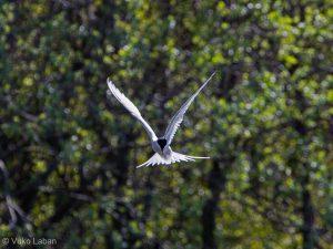 Sterna paradisaea, Artic Tern