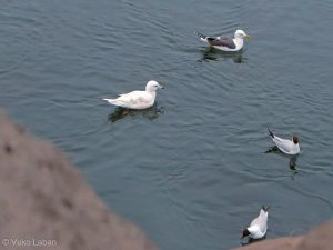 Larus glaucoides, Iceland Gull