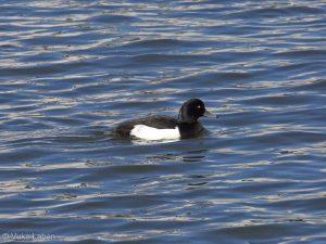 Aythya fuligula, Tufted Duck