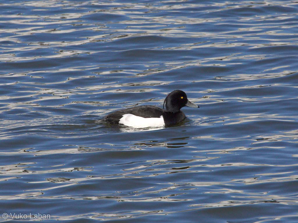 Aythya fuligula, Tufted Duck