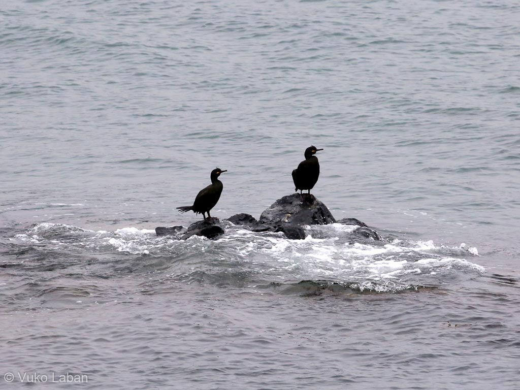 Phalacrocor aristotelis, European Shag
