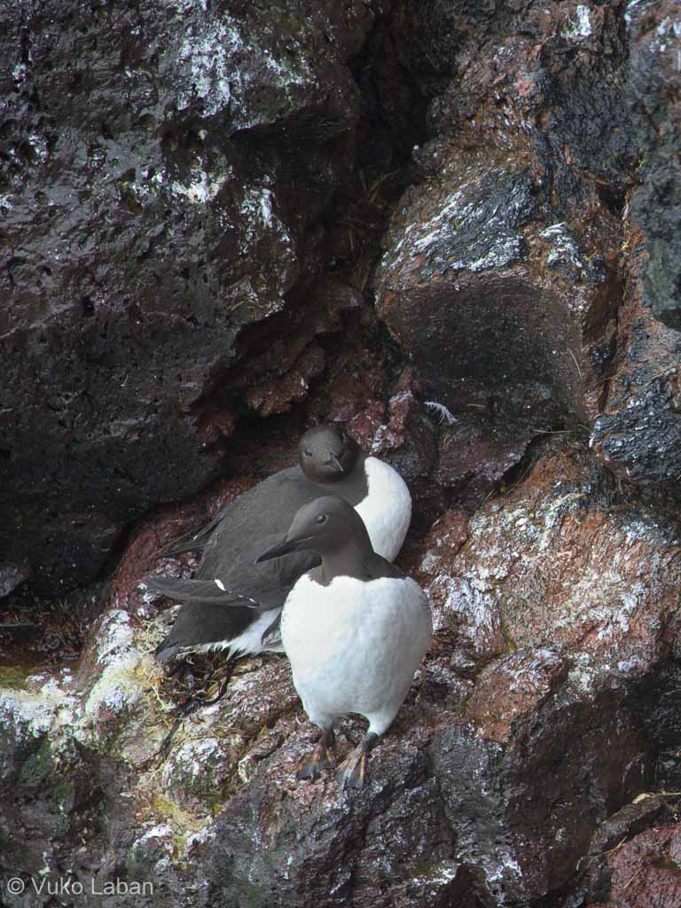 Uria aalge, Common Guillemot
