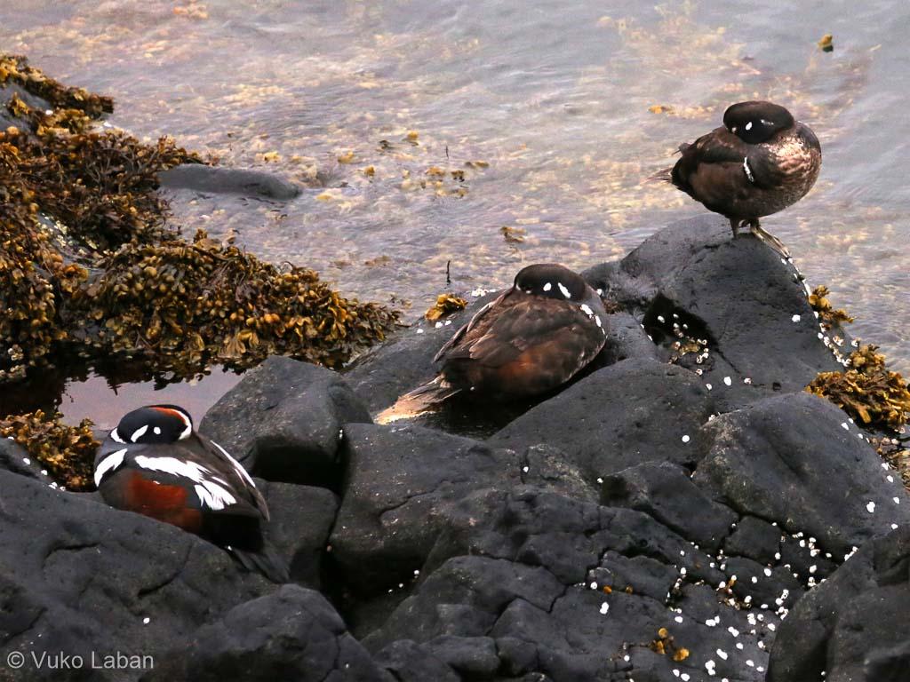 Histrionicus histrionicus, Harlequin Duck