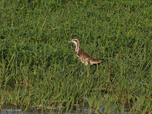 Pheasant-tailed Jacana, Hydrophasianus chirurgus