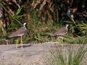 Red-wattled Lapwing, Vanellus indicus
