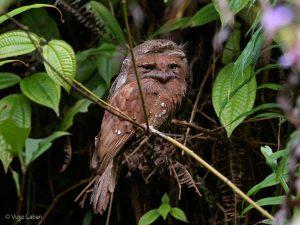 Sri Lanka Frogmouth, Batrachostomus moniliger