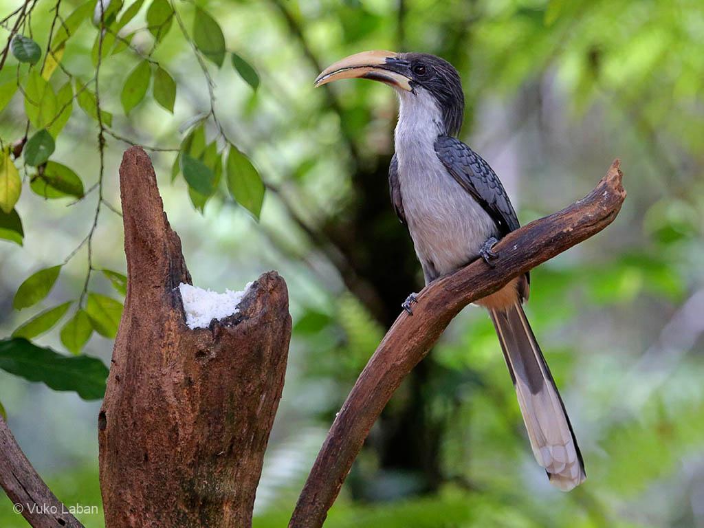 Sri Lanka Grey Hornbill, Tockus gingalensis