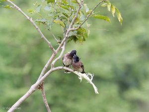 Red-vented Bulbul, Pycnonotus cafer cafer
