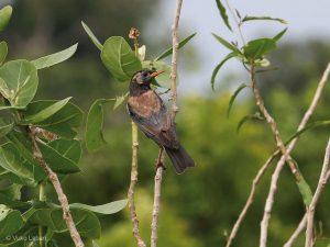 Rosy Starling, Sturnus roseus